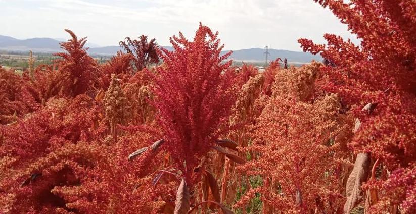 Bu bitki çölyak ve kanser hastaları için adeta umut niteliğinde